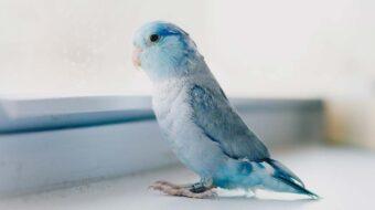 Maladie du bec et des plumes (psittacine beak and feather disease)